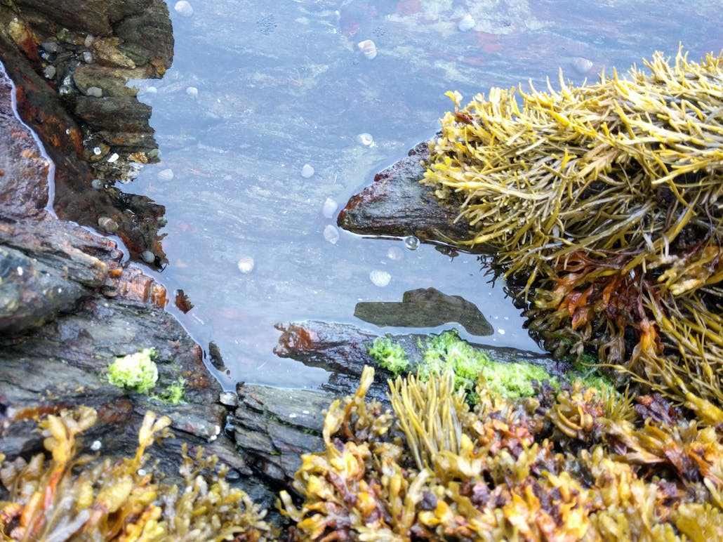 A tide pool on Hermit Island up close, showing moss, still water, and mosquito eggs in the shallow water