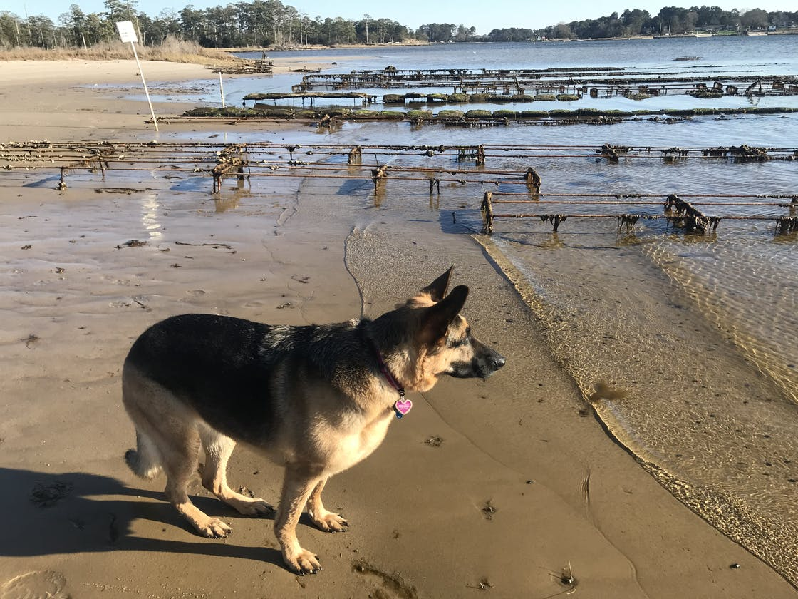dog stands at alert at the first landing beach in virginia