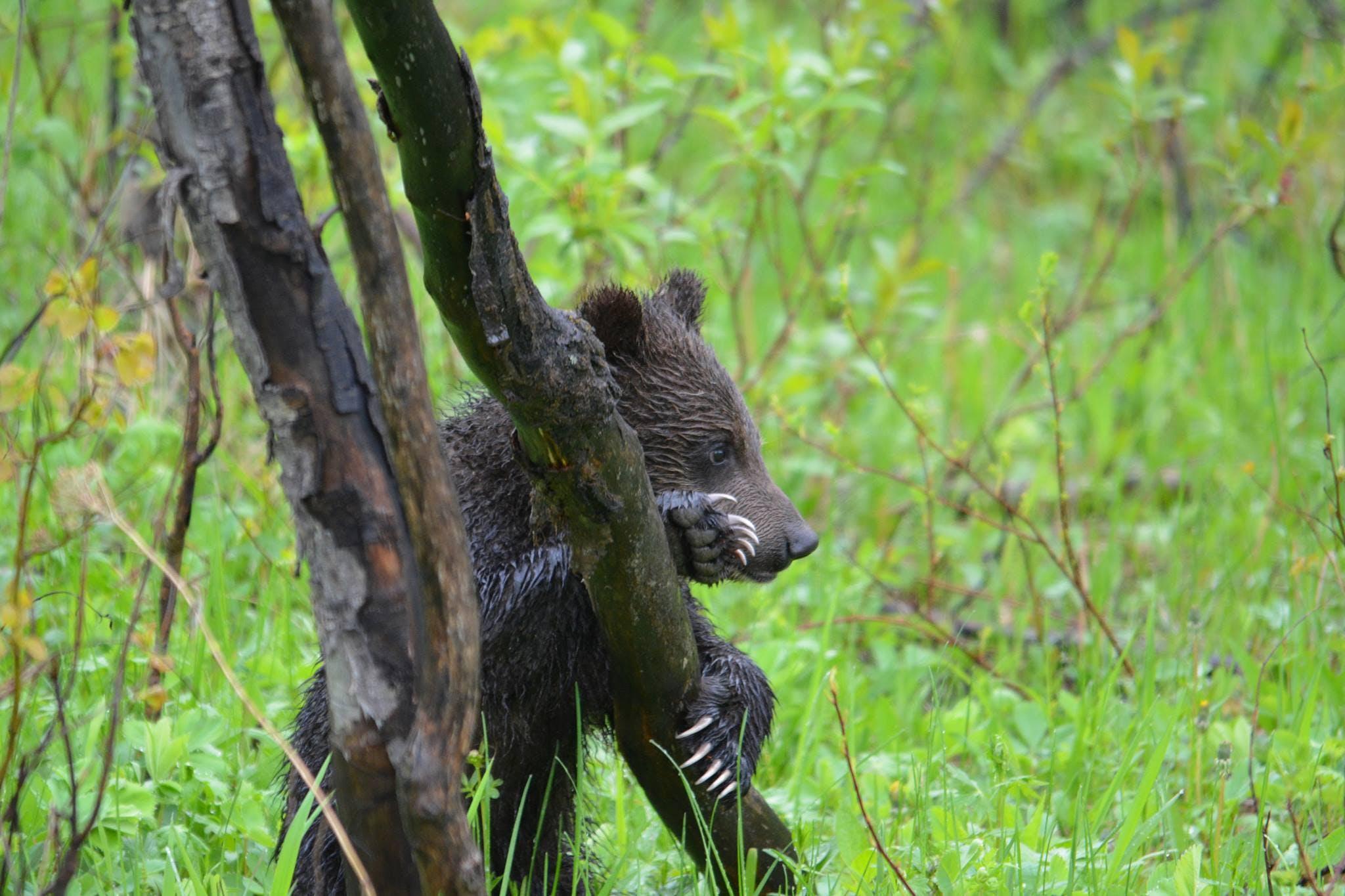 bear cub in grand teton national park