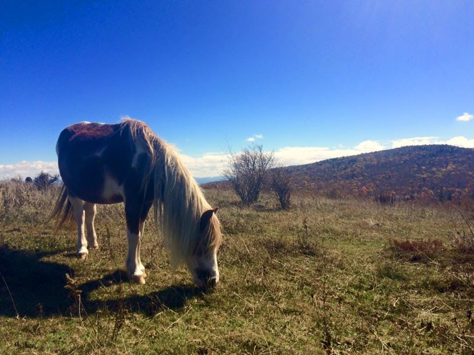 pony grazes on grass in grayson highlands on a clear day